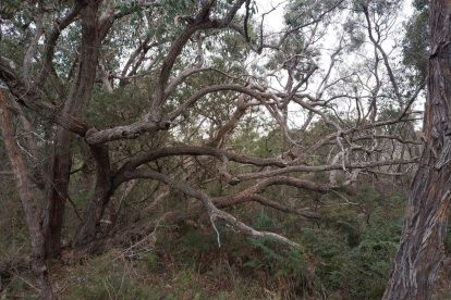 Calectasia Conservation Park-04